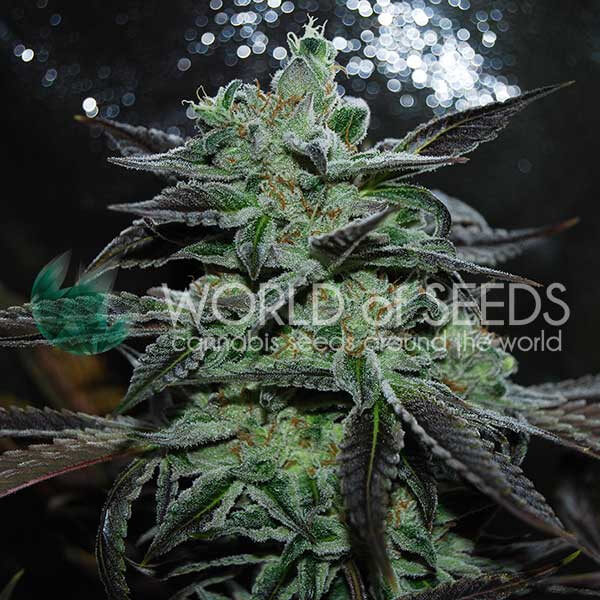 Strawberry Blue Early Harvest Feminised Seeds