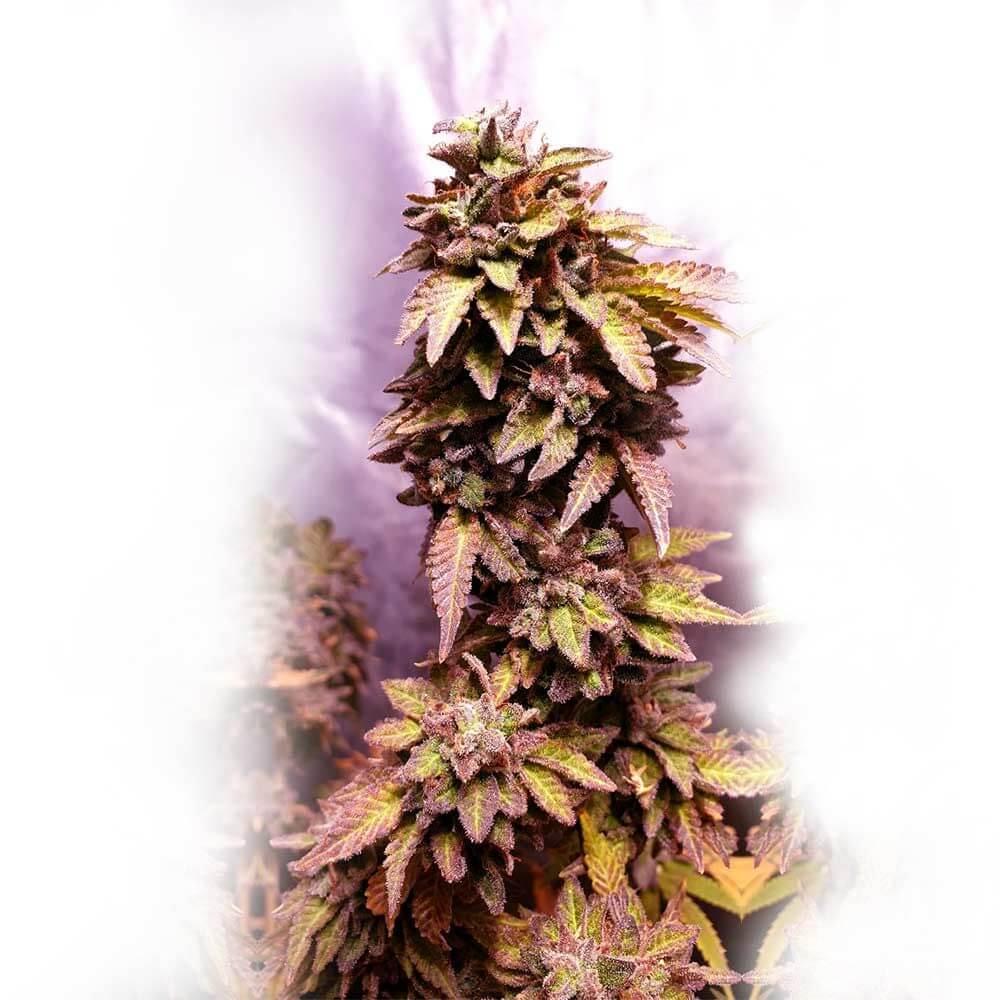 Strawberry Dawg Pound Feminised Seeds - 6