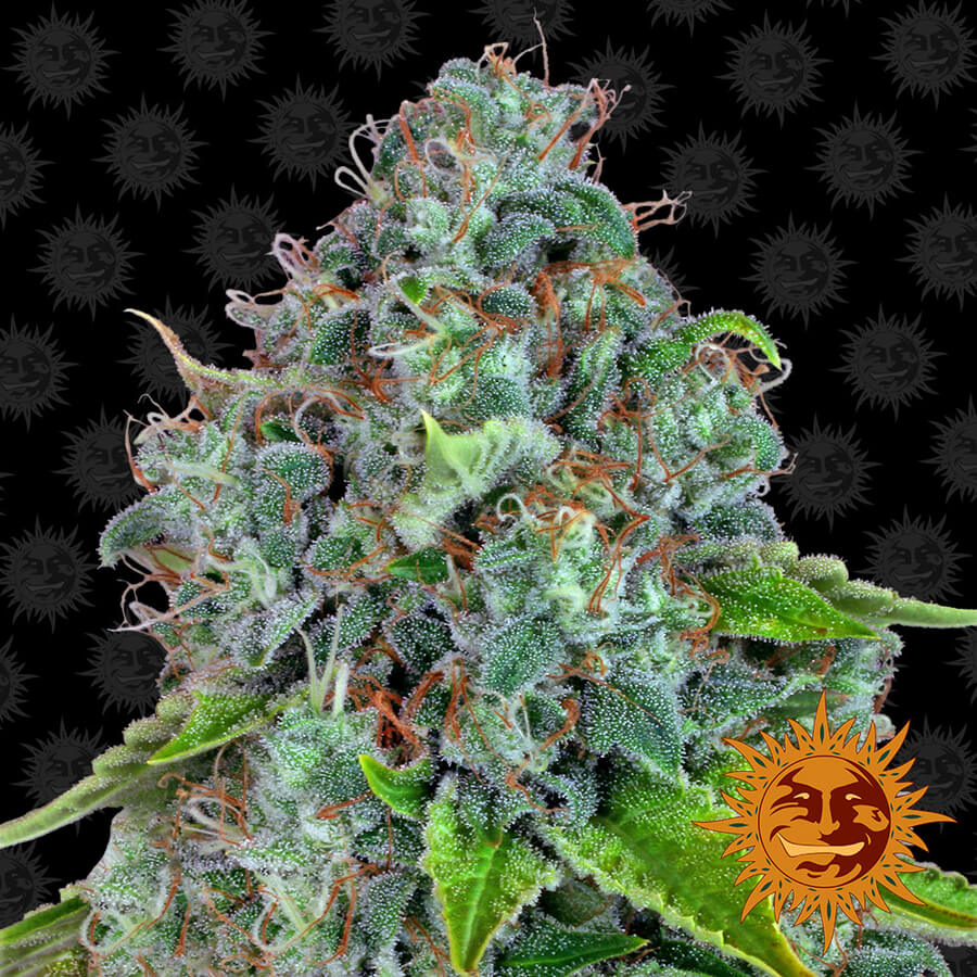 Strawberry Lemonade Feminised Seeds