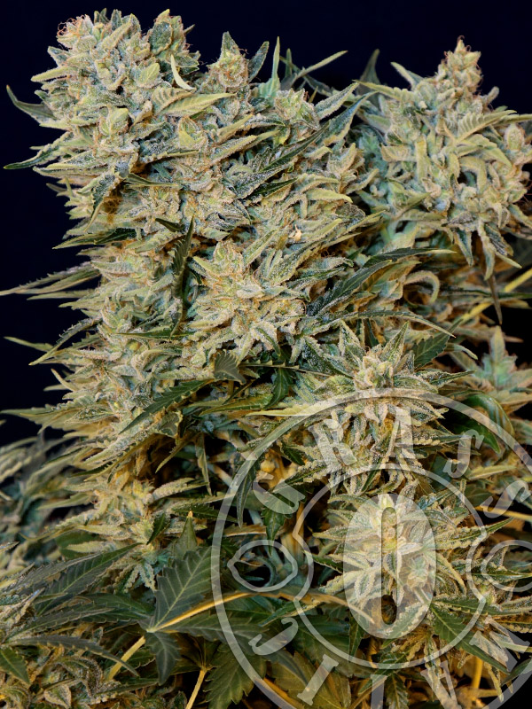 Sugar GOM Auto Feminised Seeds