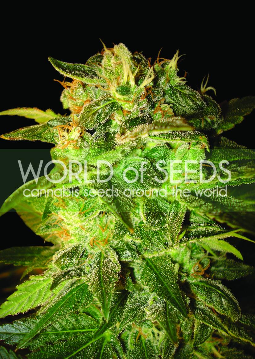Sugar Mango Ryder Auto Feminised Seeds