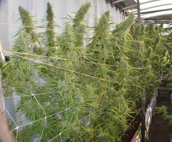 Super Malawi Haze Feminised Seeds