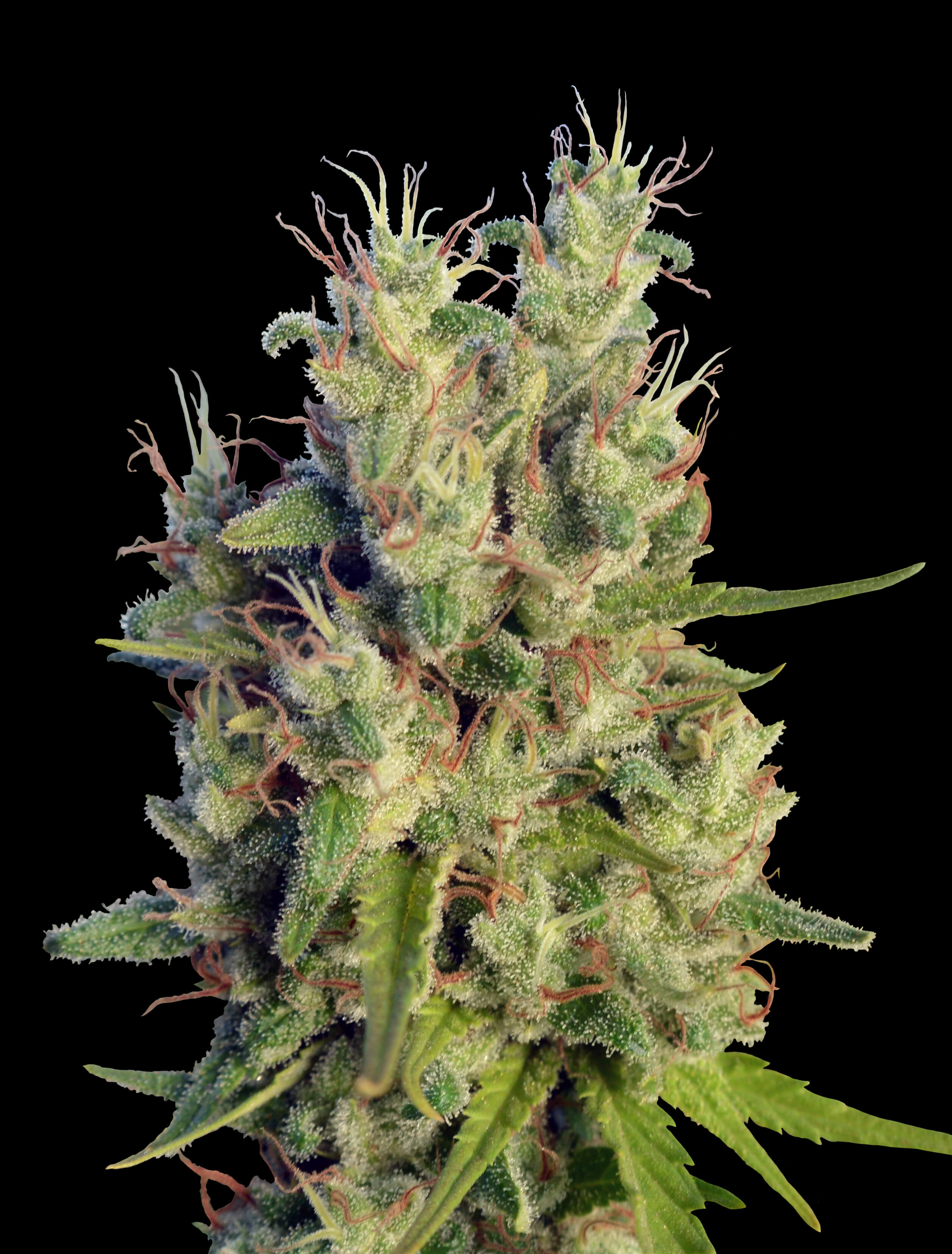 Super Malawi Haze Regular Seeds