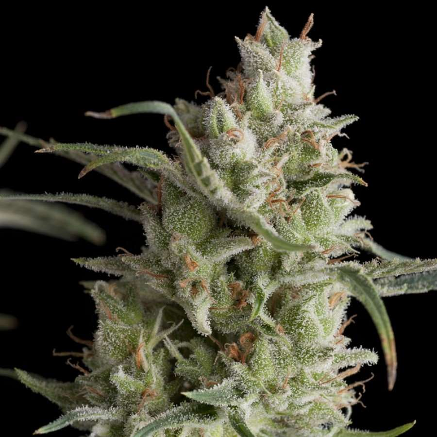 Super OG Kush Feminised Seeds