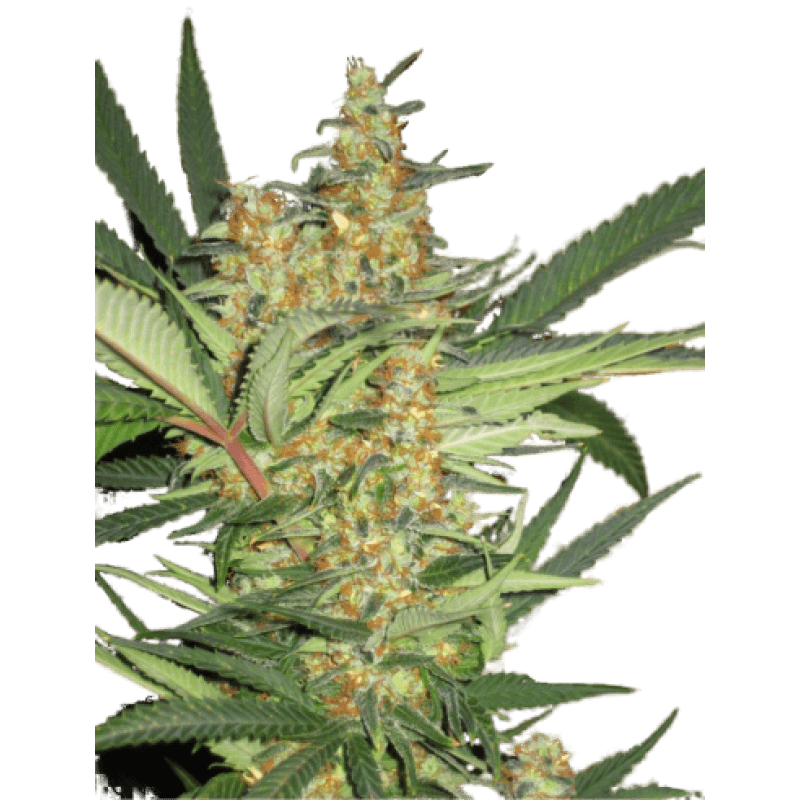 Amajikoym Feminised Seeds