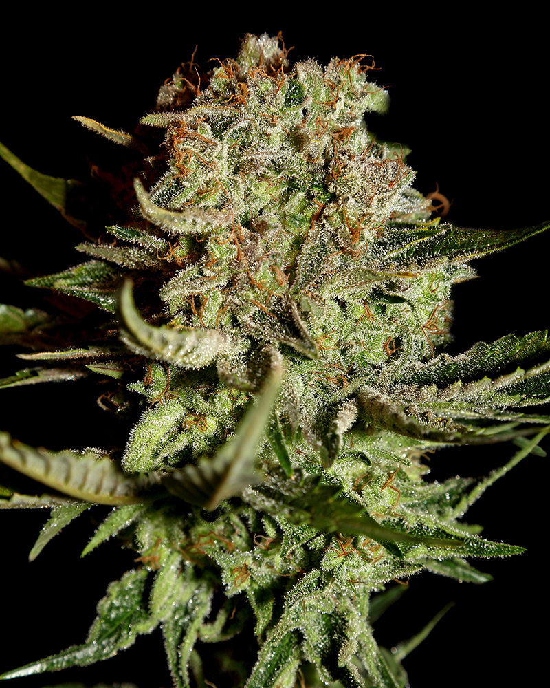 Super Bud Feminised Seeds
