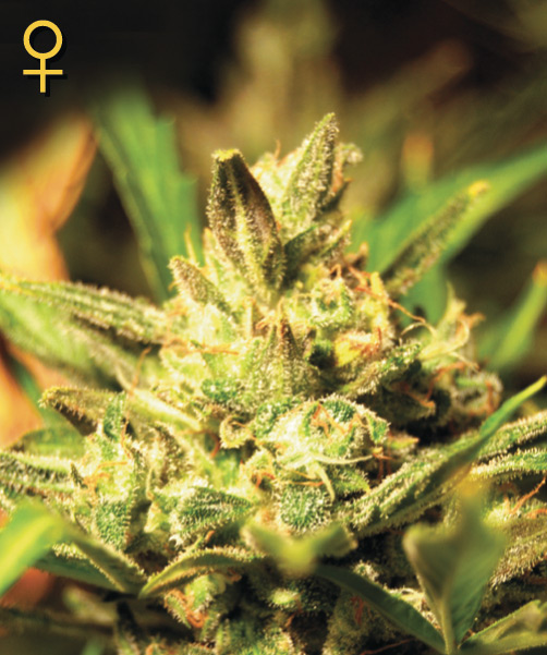 Super Critical Auto Feminised Seeds