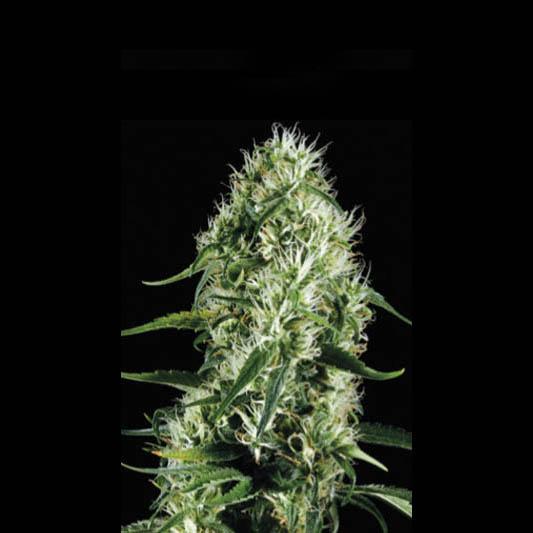 Silversurfer Haze Feminised Seeds