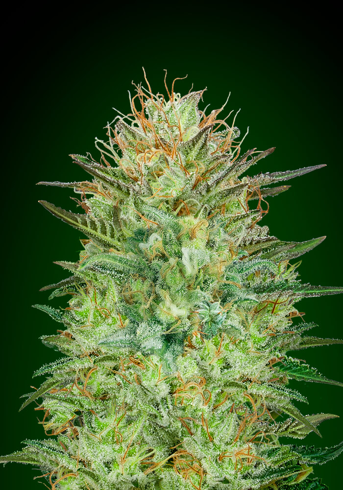 Sweet Critical Auto Feminised Seeds