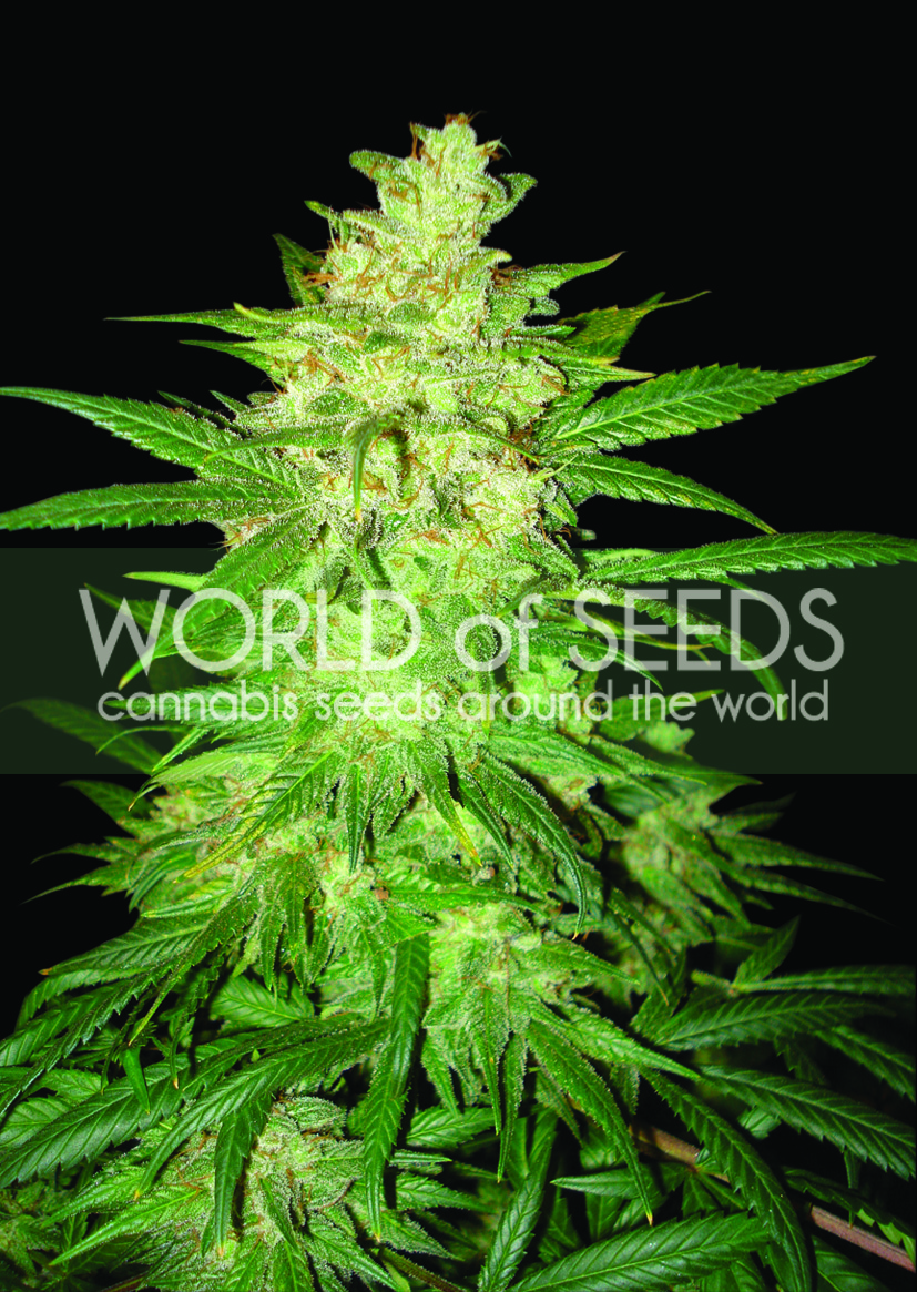Colombian Gold Ryder (former Sweet Coffee Ryder) Auto Feminised Seeds