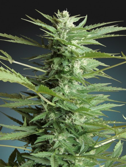 Sweet Dwarf Auto Feminised Seeds