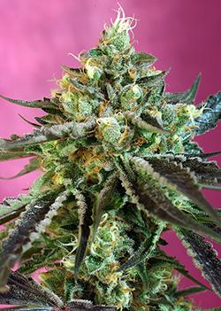 Sweet Nurse CBD Auto Feminised Seeds