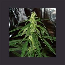 Swiss XT Feminised Seeds