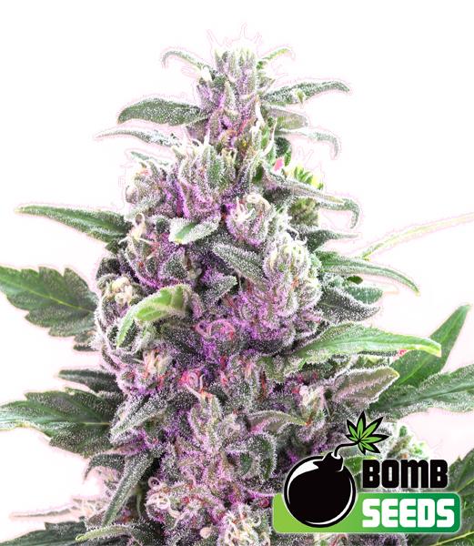 THC Bomb Feminised Seeds
