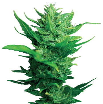 Think Different Auto Feminised Seeds