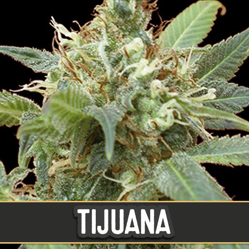 Tijuana Feminised Seeds