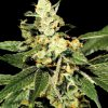 Trainwreck Feminised Seeds