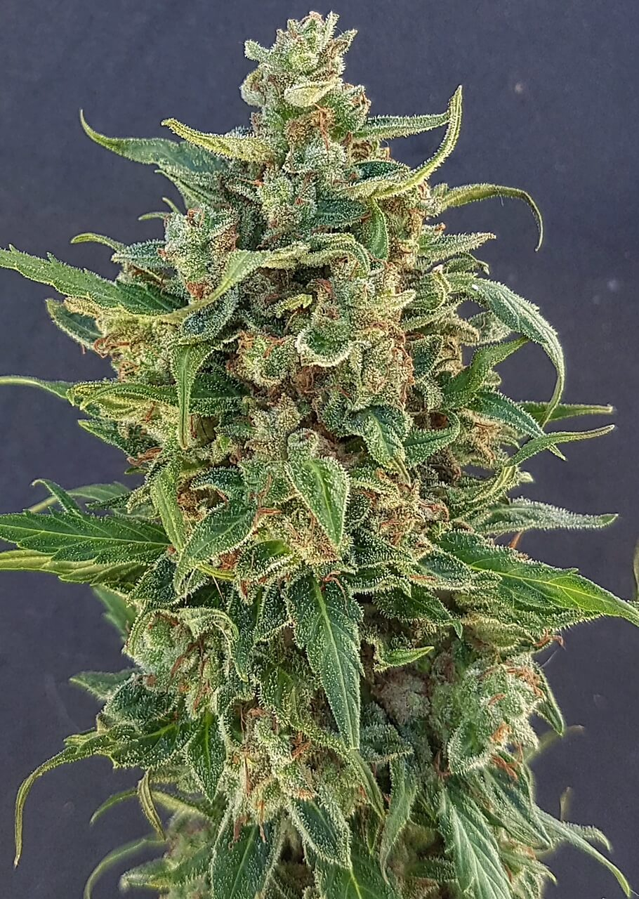 Triple XL Auto Feminised Seeds