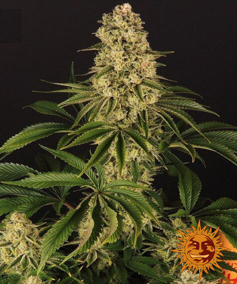 Tropicanna Banana Feminised Seeds