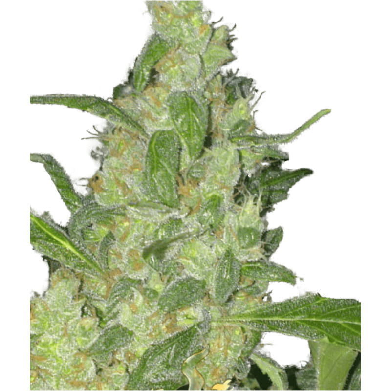 Turing Auto Feminised Seeds