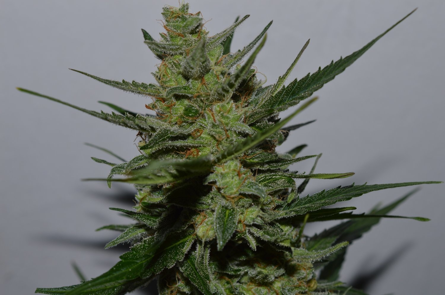 UK Blues Feminised Seeds
