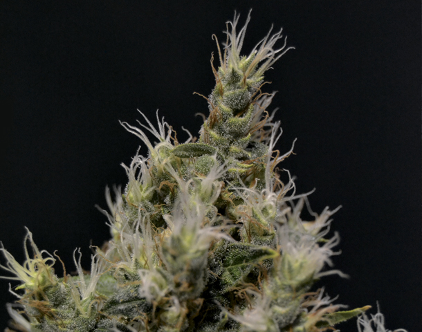 Vanilla Haze Feminised Seeds