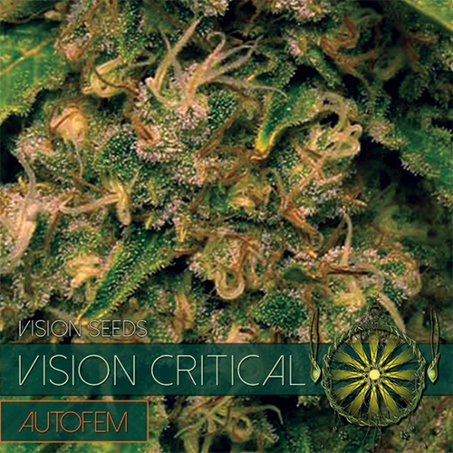 Vision Critical Auto Feminised Seeds