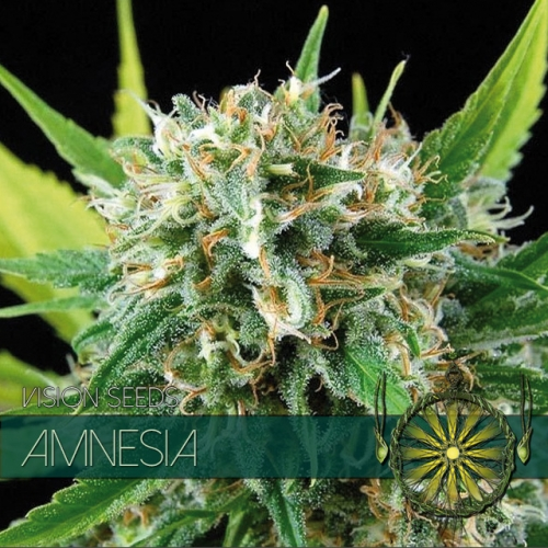 Amnesia Feminised Seeds
