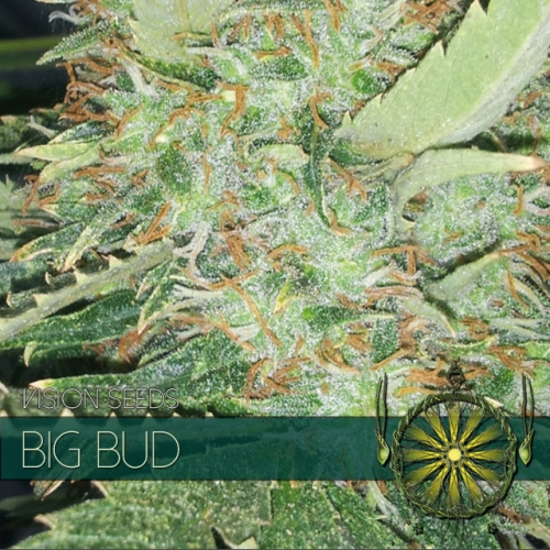 Big Bud Feminised Seeds