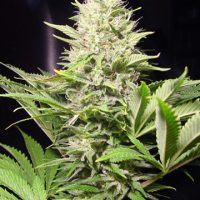 Wappa Feminised Seeds