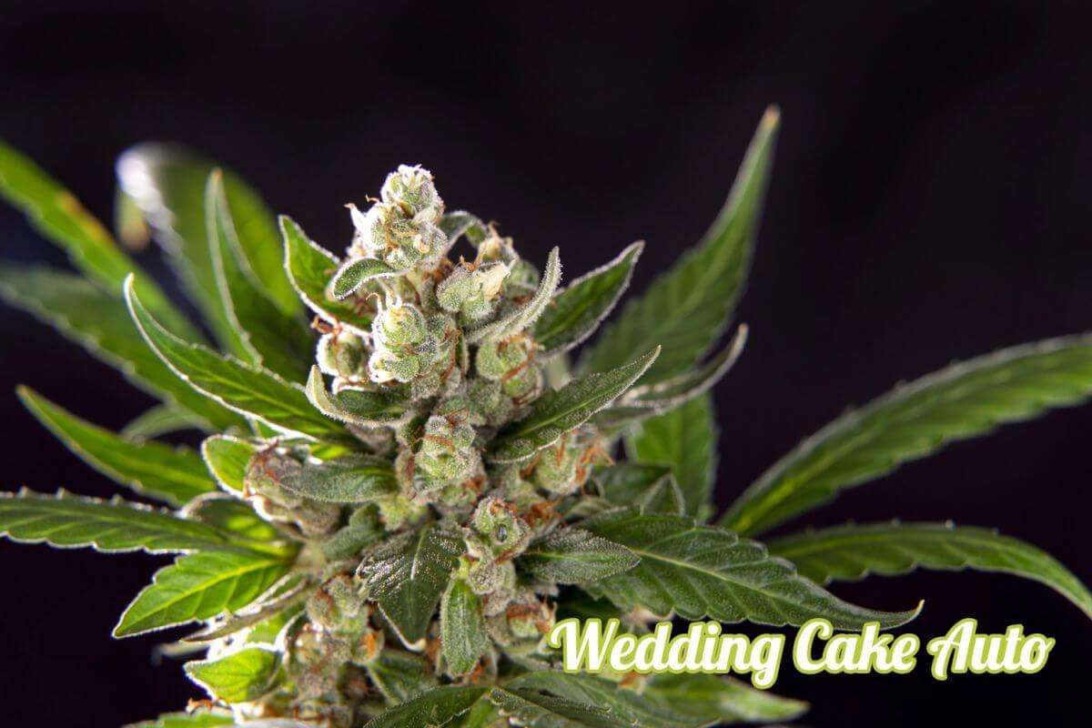 Wedding Cake Auto Feminised Seeds