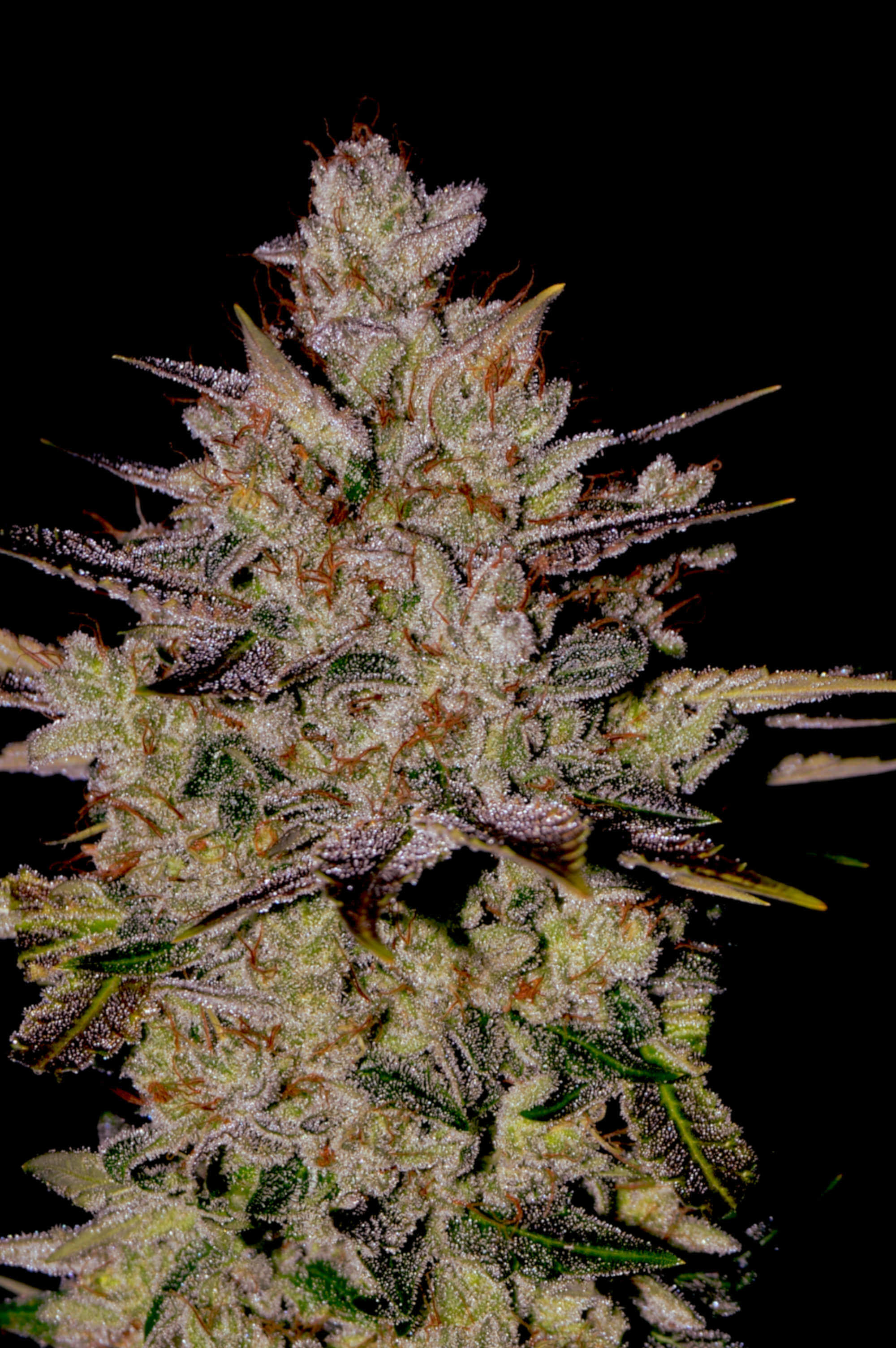 Wedding Cake Auto Feminised Seeds