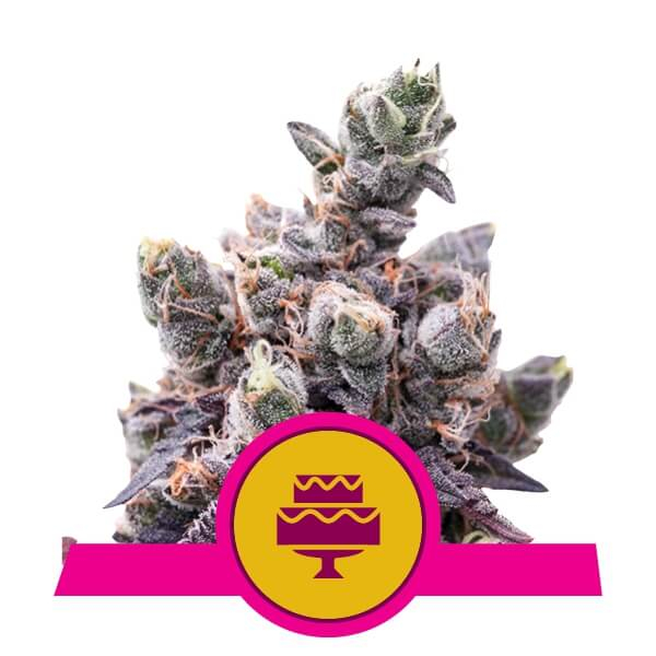Wedding Gelato Feminised Seeds