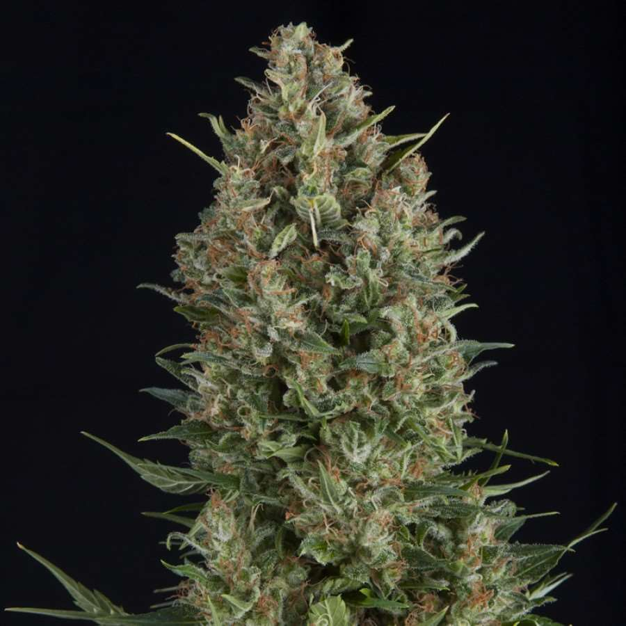 Wembley Feminised Seeds