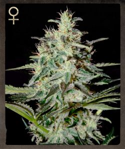 White Lemon Feminised Seeds