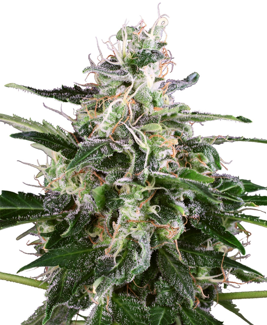 White Skunk Auto Feminised Seeds