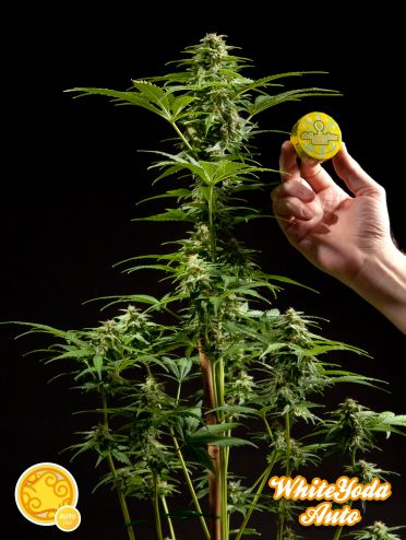 White Yoda Auto Feminised Seeds