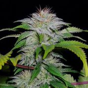 White Candy Auto Feminised Seeds