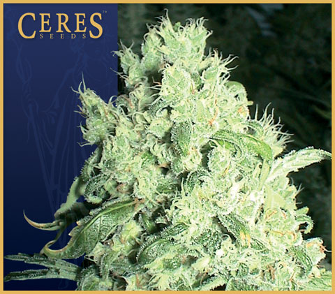 White Indica Feminised Seeds