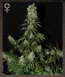 White Strawberry Skunk Feminised Seeds