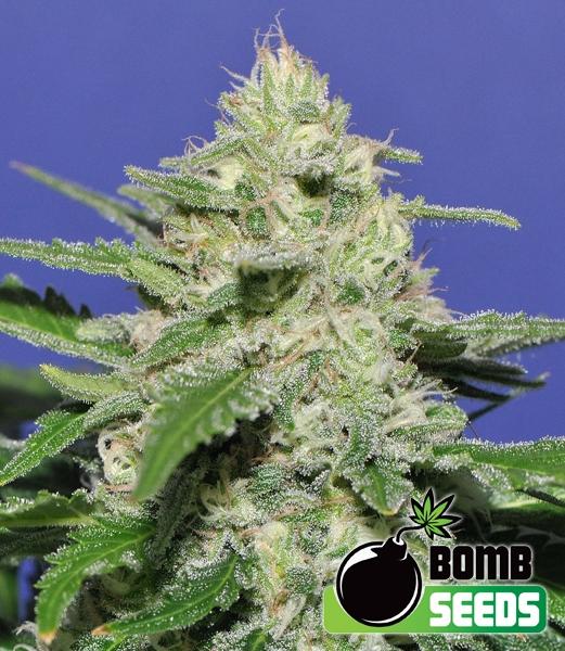 Widow Bomb Regular Seeds - 10