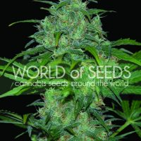 Wild Thailand Feminised Seeds